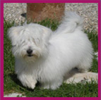 Breeding kennels specialising in Cotons de tulear pups in Camaret France Les Cotons de Tulear d'Ivandry