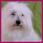 Standard of the Coton de Tulear of Les Cotons de Tulear d'Ivandry breeding kennels specialising in Cotons de tulear pups in Camaret France