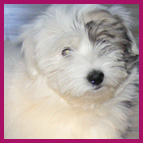 Philosophy of Les Cotons de Tulear d'Ivandry breeding kennels specialising in Cotons de tulear pups in Camaret France